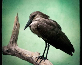 Hamerkop - Exotic bird, Square format Photography Print - Animals, birds, Green, black, TTV, free shipping