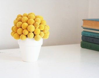 bitty billy-   dried flower arrangement of crapsedia, billy buttons