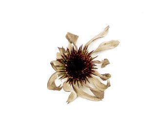 Botanical Fine Art Photo 8 x 10 Yesterday Prairie Flower Sepia Brown Minimalist Nature