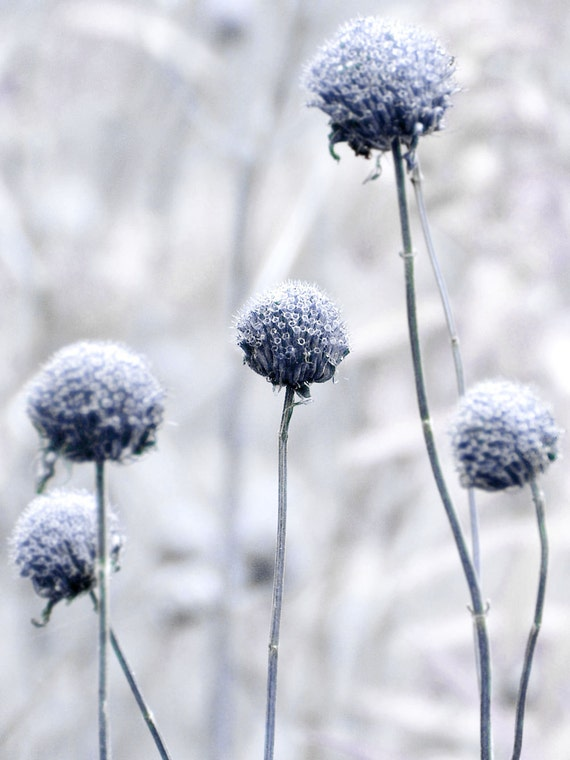 Botanical Photograph Hush Flower Blue Gray Dreamy Nature Floral Minimalist