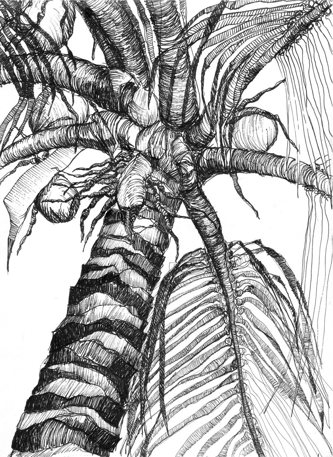 Art Pen and Ink Drawing Tropical Palm Tree with Coconuts