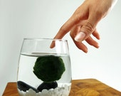 Marimo Pet in the White Sea