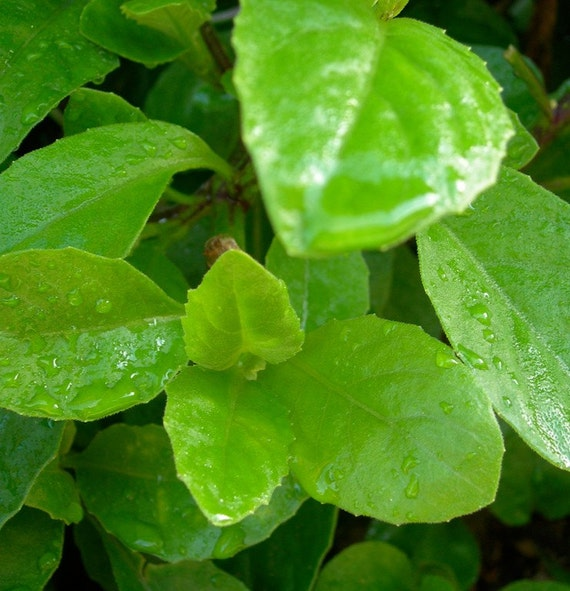 Longevity Plant for Diabetes and High-Cholesterol ( Gynura Procumbens / Ashitaba )