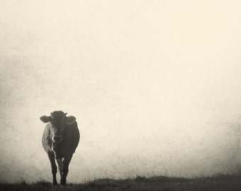 "Black and white cow . ""Rencontre"". Fine art photography print. 8x8 (20x 20cm)"