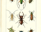 1903 Insect Print - Beetles - Vintage Antique Home Decor Book Plate Art Illustration for Framing 100 Years Old