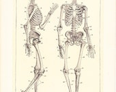 1912 Human Anatomy Print - Skeleton - Vintage Antique Home Decor Book Plate Art Illustration for Framing 100 Years Old