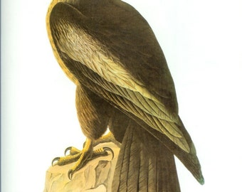 John James Audubon Bird Print - Bald Eagle - Vintage Natural Science Home Decor Art Illustration Great for Framing