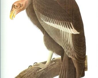 John James Audubon Bird Print - California Condor - Vintage Natural Science Home Decor Art Illustration Great for Framing