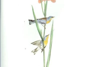 John James Audubon Bird Print - Parula Warbler - Vintage Natural Science Home Decor Art Illustration Great for Framing