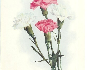 CLEARANCE SALE was 12 Bucks - 1900s Botany Print - Carnations - Vintage Home Decor Flower Art Illustration Great for Framing 100 Years Old