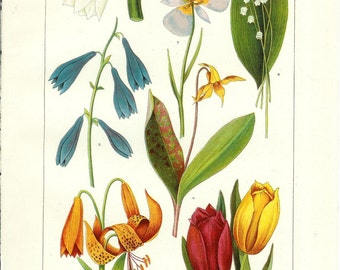 1909 Botany Print - Lily Flowers - Vintage Antique Art Illustration Book Plate Natural Science Great for Framing 100 Years Old