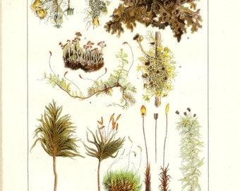 1912 Botany Print - Mosses and Lichens - Vintage Antique Home Decor Book Plate Art Illustration for Framing