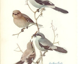 1936 Bird Print - Plates 89 & 90 - Northern Shrike - Vintage Antique Art Illustration by Louis Agassiz Fuertes 75 Years Old