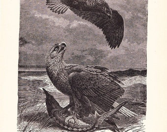 1901 Bird Print - White Tailed Sea Eagles - Vintage Antique Home Decor Art Illustration for Framing 100 Years Old