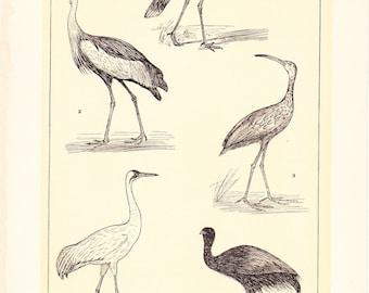 1903 Bird Print - Cranes - Vintage Antique Home Decor Book Plate Art Illustration for Framing 100 Years Old