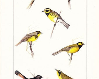 1909 Bird Print - American Wood Warblers - Vintage Antique Home Decor Book Plate Art Illustration for Framing 100 Years Old