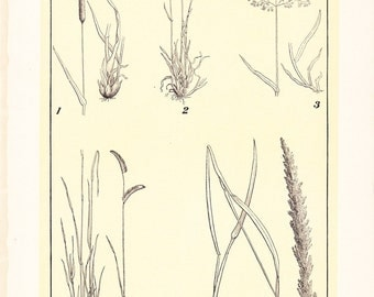 1903 Botany Print - Grasses - Vintage Antique Art Illustration Book Plate Natural Science Great for Framing 100 Years Old