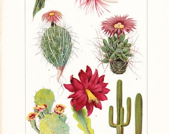 1903 Botany Print - Cacti - Vintage Antique Art Illustration Book Plate Natural Science Great for Framing 100 Years Old