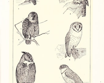1903 Bird Print - Owls - Vintage Antique Home Decor Book Plate Art Illustration for Framing 100 Years Old