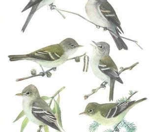 1936 Bird Print - Plates 67 & 68 - Flycatchers - Vintage Antique Art Illustration by Louis Agassiz Fuertes 75 Years Old