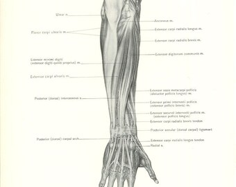 1926 Human Anatomy Print - Superficial Muscles of Forearm - Vintage Antique Medical Anatomy Art Illustration for Doctor Hospital Office