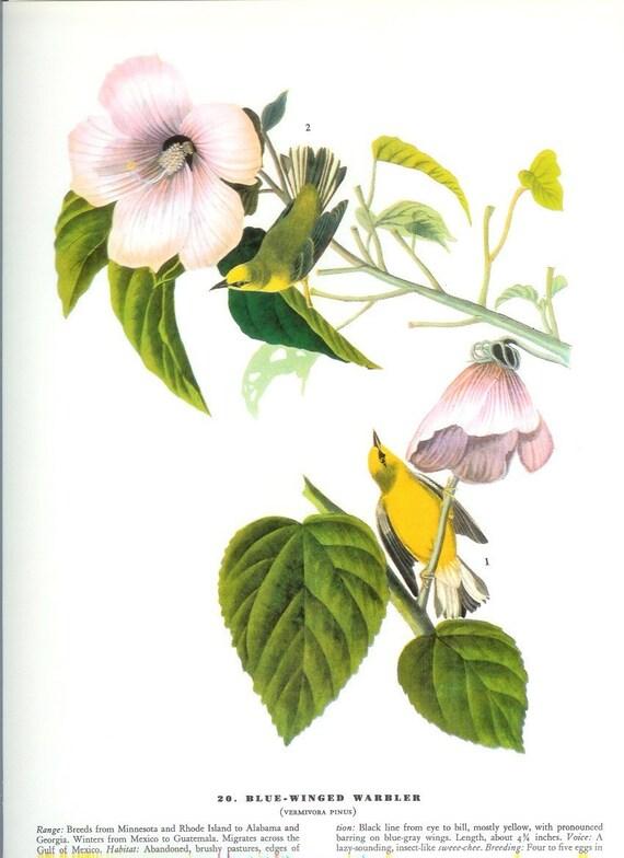John James Audubon Bird Print - Blue Winged Warbler - Vintage Natural Science Home Decor Art Illustration Great for Framing