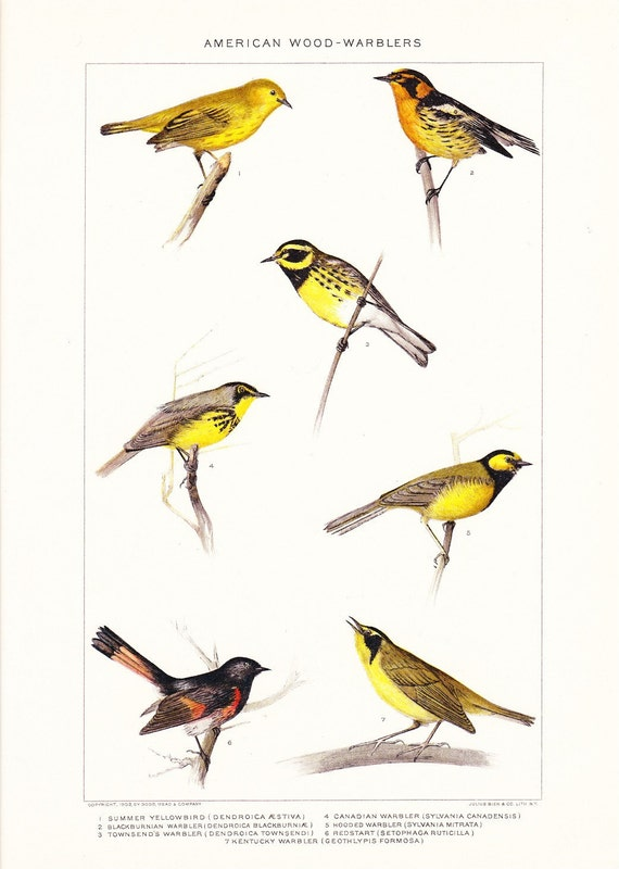 1903 Bird Print - American Wood Warblers - Vintage Antique Home Decor Book Plate Art Illustration for Framing 100 Years Old