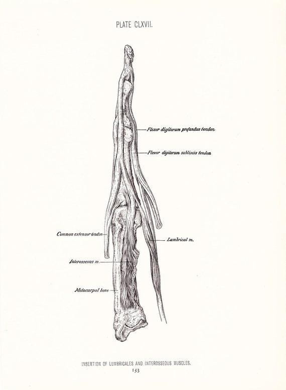 1926 Human Anatomy Print - Muscles of Finger - Vintage Antique Medical Anatomy Art Illustration for Doctor Hospital Office