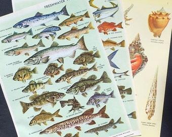 Fish Illustrations, Seashell Illustrations Fish Print- 3 vintage full color 1960's encyclopedia book pages, sea shell, sea life, nature
