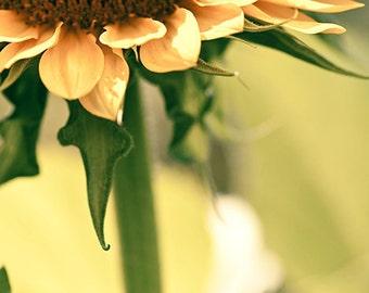 Sunflower photo -  Fine Art Photo - gold flower - home decor - 8x10