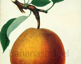 1890 Very Rare Vintage Botanical Print of the Sheldon Pear