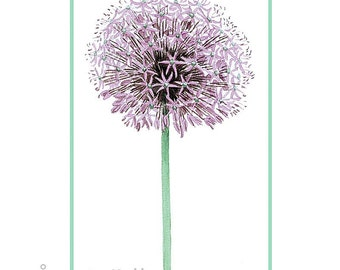 Allium - Art Print