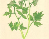 Fernleaf Phacelia, Pressed Flower, Linoleum Reduction Print