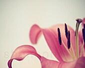 lily botanical photography, flower photography, nature, spring, pink, feminine, girly / lady lily / 8x12 fine art photo
