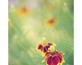 summer flower nature photography / soft green, mustard yellow, rusty red, prairie coneflower / eternal / 8x10 fine art photo