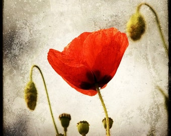 Papaver - Fine Art Print - Nature Photography - Say It With Flowers - Etsy Wall Art - TFTeam - Flower Photograph