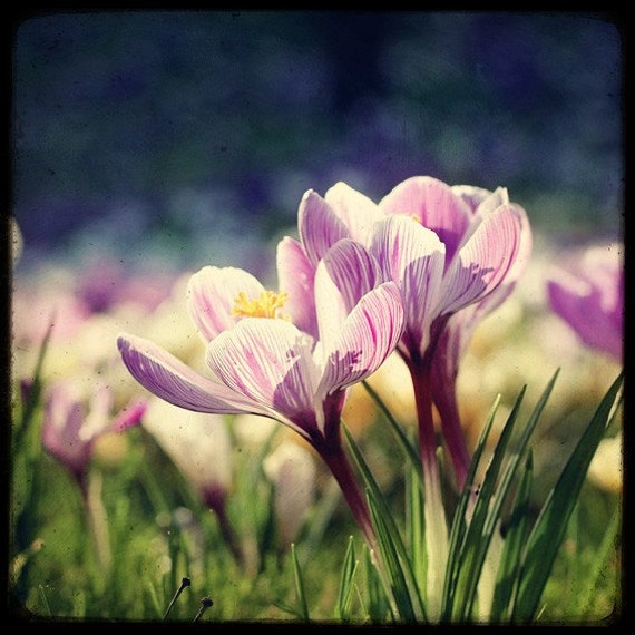 Blooming Crocuses - Fine Art Print - Nature Photography - Flower TTV - Say It With Flowers - TFTeam - Flower Photograph