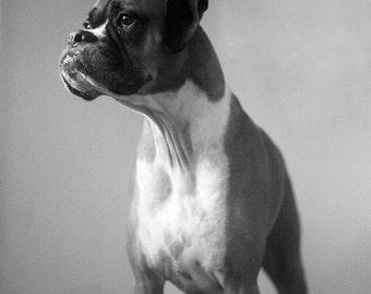 Boxer Dog Photo - 5x5 Square Black and White Photography Print - Monotone Soft Grays Dog Art