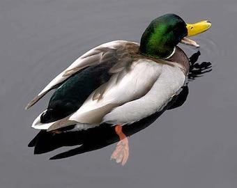 Duck in Still Water, Mallard Duck, Art Print Photograph