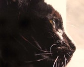 Sepia, 5x5 Inch Black Cat Fine Art Photography Print, 100% of sales go to Blind Cat Rescue and Sanctuary