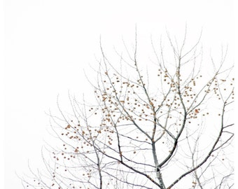 Tree Photo - Nearly Bare Sycamore Branchs  - Tree Branch Photography -  Landscape Photography