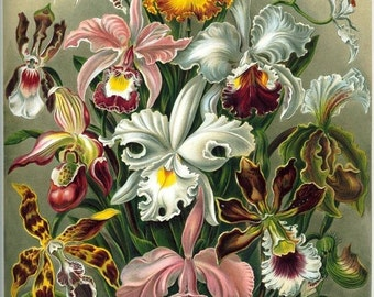 Digital Image Orchids Floral Haeckel Orchidae Red Rust White Pink Green You Print Digital Image