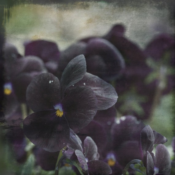Fine art print, Nature Photo, Black Pansy Flowers, 8x8, Nature Photography, Garden Pansy, Dark Flowers, goth, Ebony, Coal,