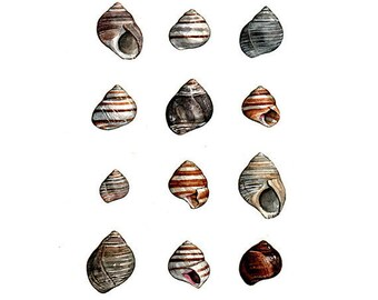 Periwinkles Shells Watercolor Painting - Matted Art Print