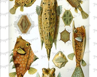 Haeckel Fish Digital Download Collage Sheet