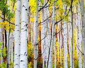 Aspen Trees Autumn Forest Rust Orange Yellow Gold Foliage Fall Colorado Leaves October Rustic Cabin Lodge Photograph