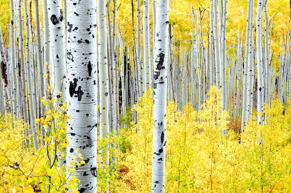 Aspens Trees Aspen Forest Fall Autumn Wall Art 20x30 Golden Leaves Foliage October Yellow Rustic Cabin Lodge Photograph