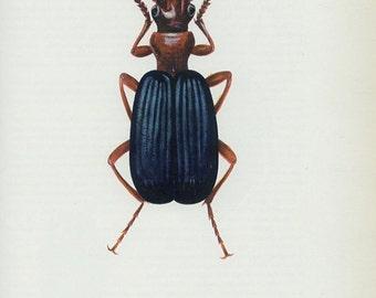 Vintage Insect Print, Bombadier Beetle, (45) Vladimir Bohac, 1965, Bug Creepy Crawly, Frameable Art