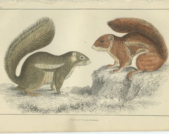Red Squirrel, Antique Print 1868 Goldsmith (35) Hand Colored Coloured, Copper Engraving, Fullerton, Frameable Art