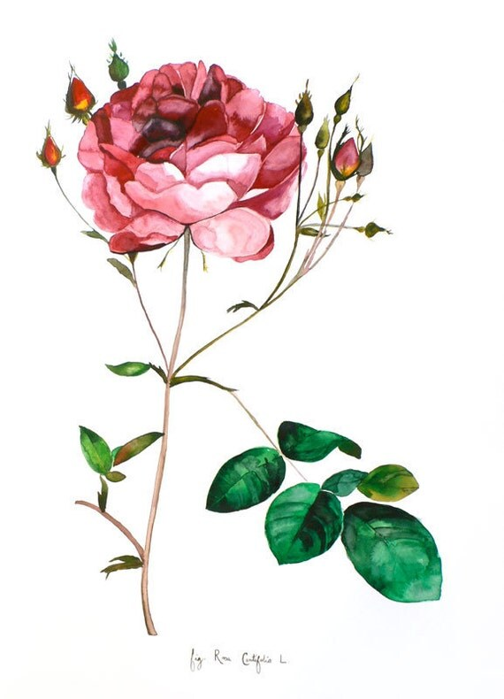 Rose - Original Watercolor Painting - Botanical Illustration - Scientific Drawing - 18x24 - Studio Clearance - 60% Off